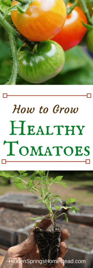 How to Grow Healthy Tomatoes
