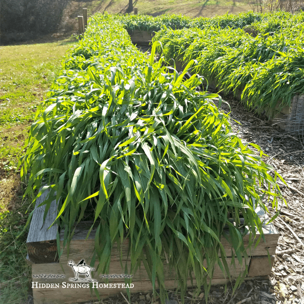 Using Cover Crops in Raised Beds