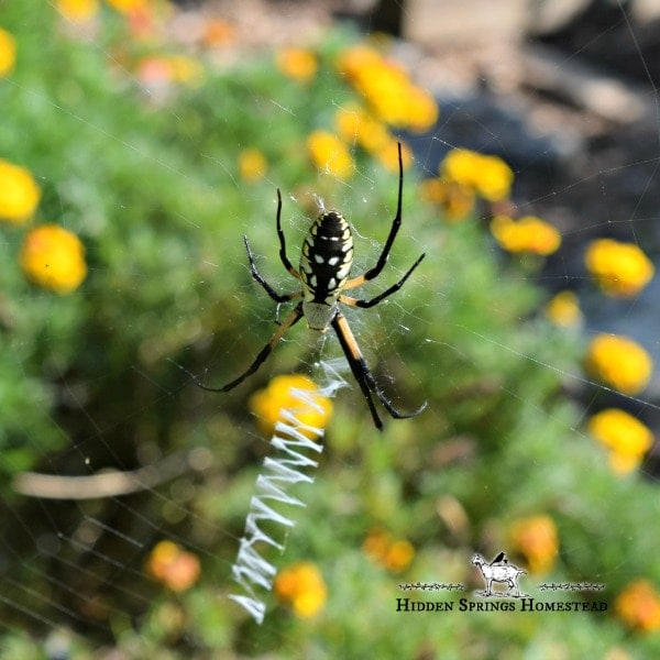 Black and Yellow Garden Spiders