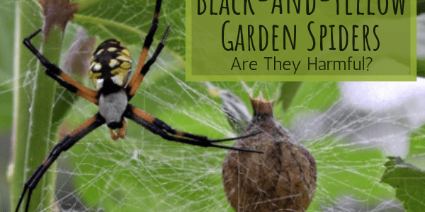 Black and Yellow Garden Spiders, Are They Harmful?