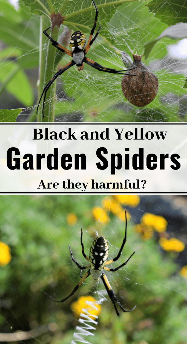 Black and Yellow Garden Spiders life span, web, what they eat
