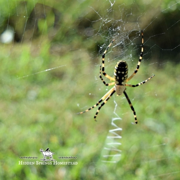 Black and Yellow Garden Spiders On her web facing toward as a means of protection