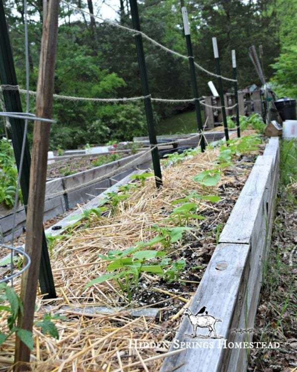 Green bean plants about 4 inches tall in a garden row with a string trellis. How to Grow Green Beans. Hidden Springs Homestead