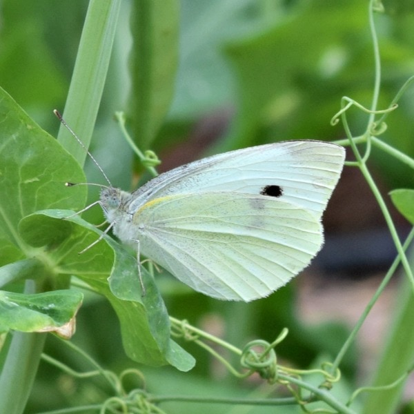 Image result for cabbage moth image