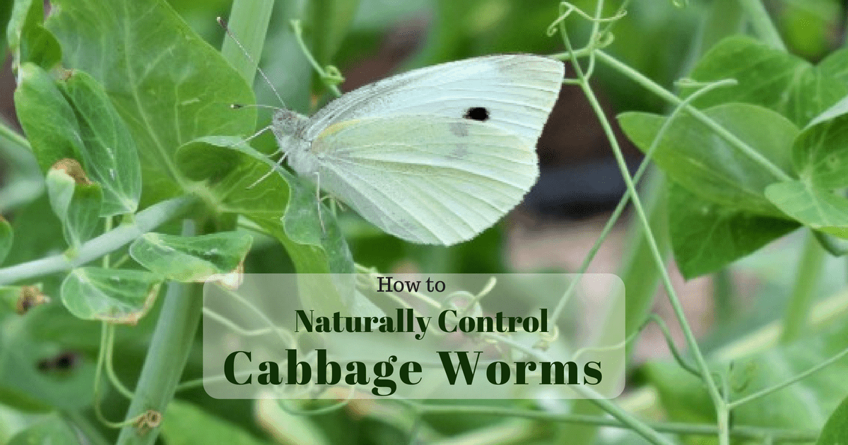 5 Ways To Naturally Control The Cabbage Worm Hidden Springs