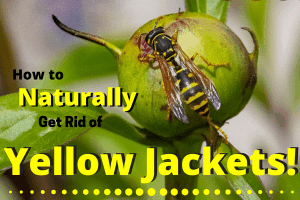 Yellow Jacket on a fruit. How to get rid of them.