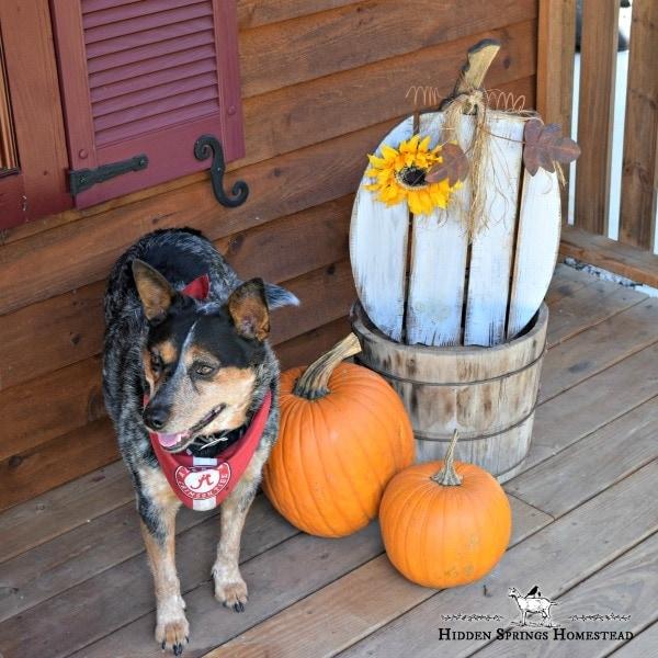 Fall porch decor with handmade pallet pumpkin, bright orange pumpkins and Katie an Australian Shepherd.