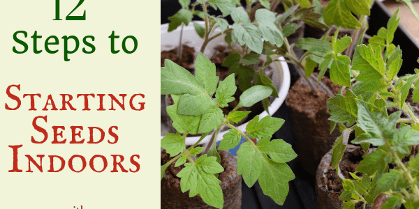tomato seedlings in peat pots How to Start Seeds Indoors Hidden Springs Homestead