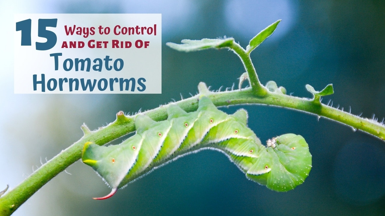 15 Ways to Naturally Control Tomato Hornworms and Get Rid of