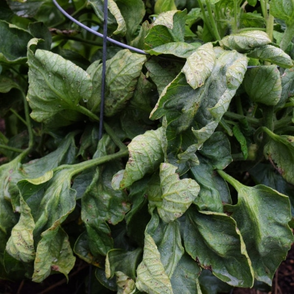 Why Are My tomato leaves curling Up? · Hidden Springs Homestead